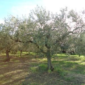 Gli oliveti